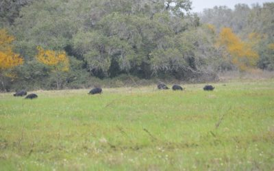 Daytime Hogs – South Texas Hog Hunting